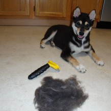 The Dreading of Shedding | Best Dog Groomer San Antonio